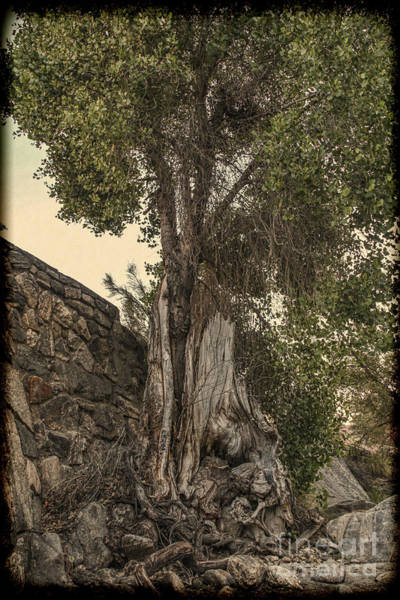 Photograph - Sabino Canyon - Vintage Gnarley Tree by Jemmy Archer