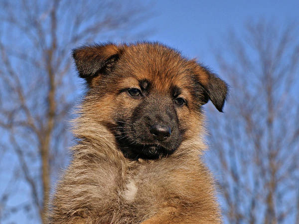 Photograph - Sable German Shepherd Puppy II by Sandy Keeton