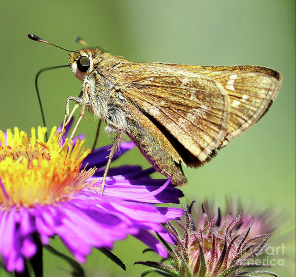 Photograph - Sachem Skipper by Jennifer Robin