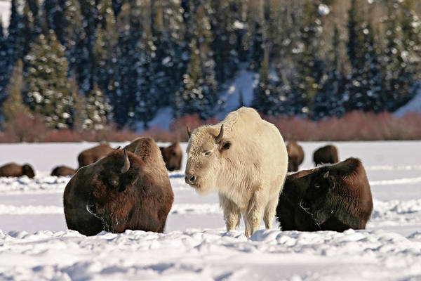 Photograph - Sacred Bison by Ronnie and Frances Howard