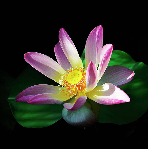Photograph - Sacred Lotus Bloom by Julie Palencia