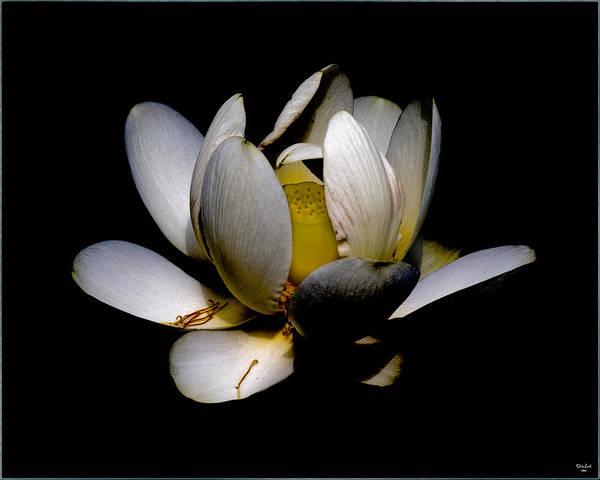 Photograph - Sacred Lotus by Chris Lord