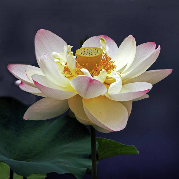 Pink Lotus Flower Photograph - Sacred Lotus by Jessica Jenney