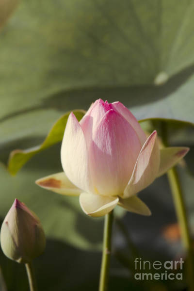 Nymphaea Lotus Photograph - Sacred Lotus - Nelumbo by Sharon Mau