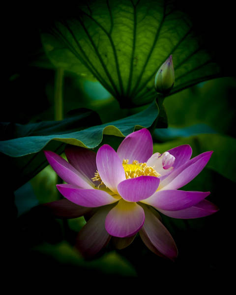 Photograph - Sacred Water Lily 2 by Francisco Gomez