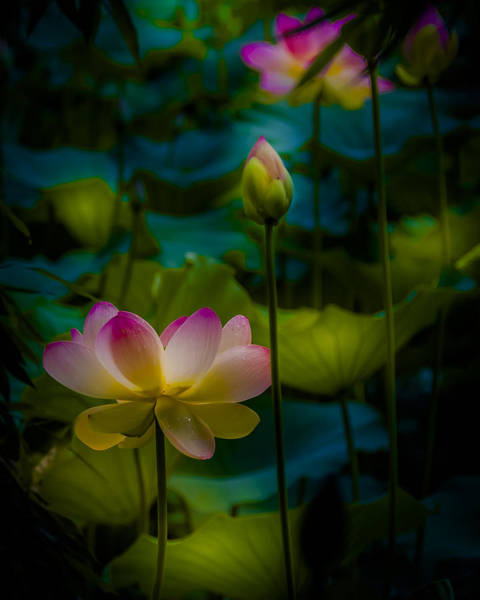 Photograph - Sacred Water Lily 5 by Francisco Gomez