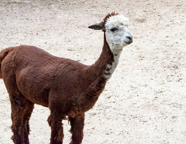 Photograph - Sad Little Alpaca by Tom Horsch Photography
