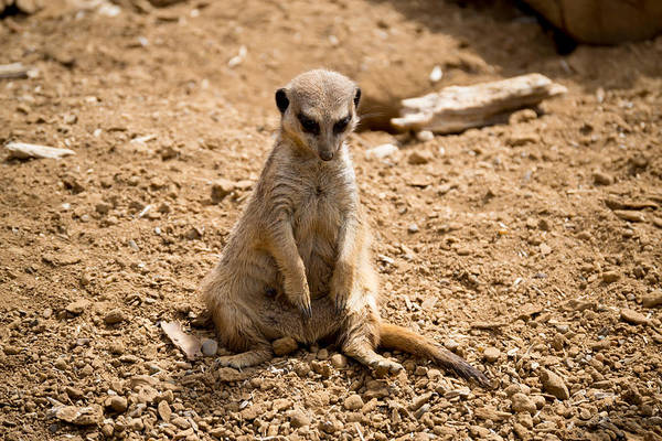 Photograph - Sad Meerkat by Scott Lyons