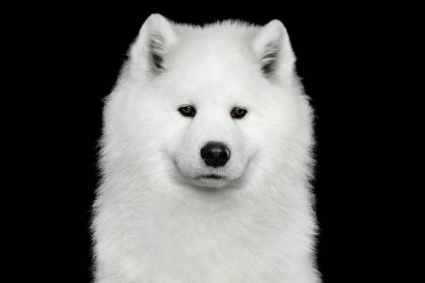 Photograph - Sad Samoyed by Sergey Taran