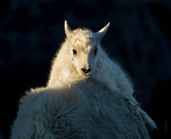 Photograph - Safe On Mamma Mountain Goat by Judi Dressler