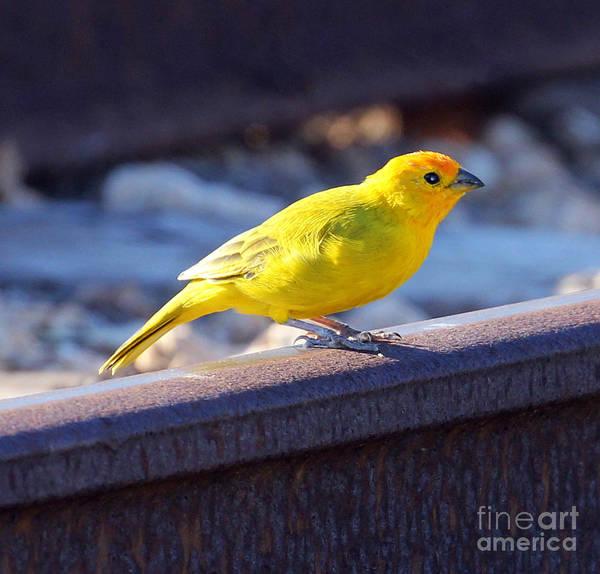 Photograph - Saffron Finch by Jennifer Robin