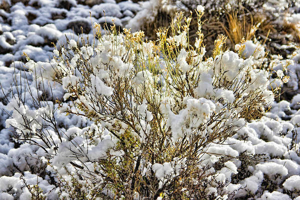 Photograph - Sagebrush Covered By Snow 2 by Tatiana Travelways
