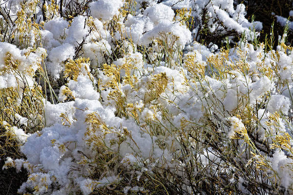 Photograph - Sagebrush Covered By Snow by Tatiana Travelways