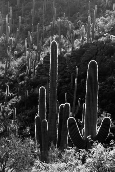 Photograph - Saguaro Backlit Black And White by Jill Reger