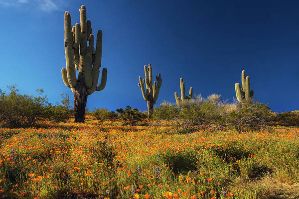 Photograph - Saguaro Cactus And Poppies Arizona by Dave Dilli