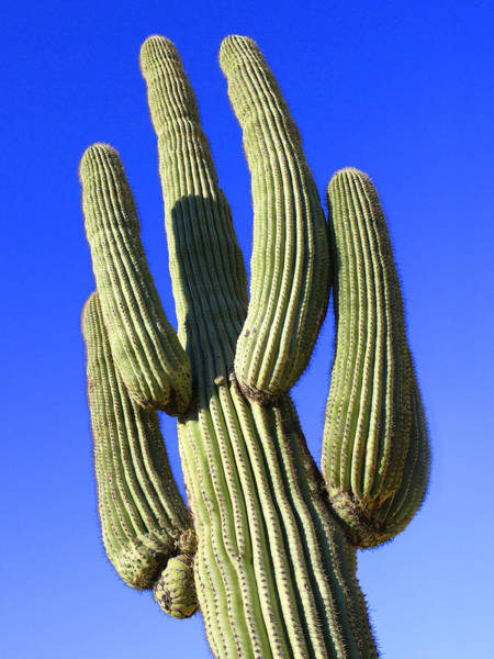 Saguaros Photograph - Saguaro Cactus - Arizona by Mike McGlothlen