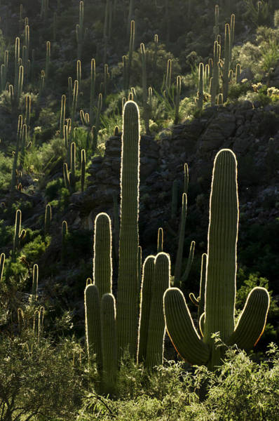 Photograph - Saguaro Cactus Backlit by Jill Reger