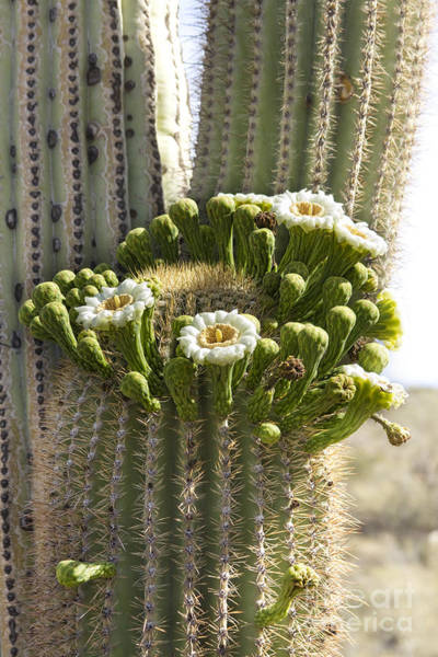 Photograph - Saguaro Cactus Bloom by James BO Insogna