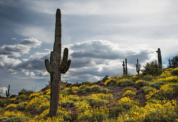 Cactus Flower Photograph - Saguaro Cactus In The Springtime by Dave Dilli