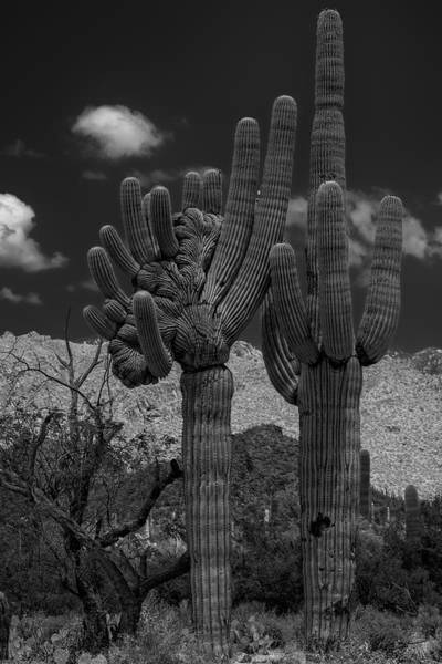 Photograph - Saguaro Duo Bw by Mark Myhaver