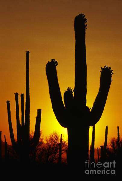 Sonoran Desert Photograph - Saguaro Sunset by Sandra Bronstein