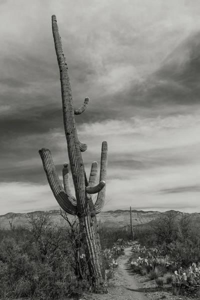 Saguaros Photograph - Saguaro Trail by Joseph Smith
