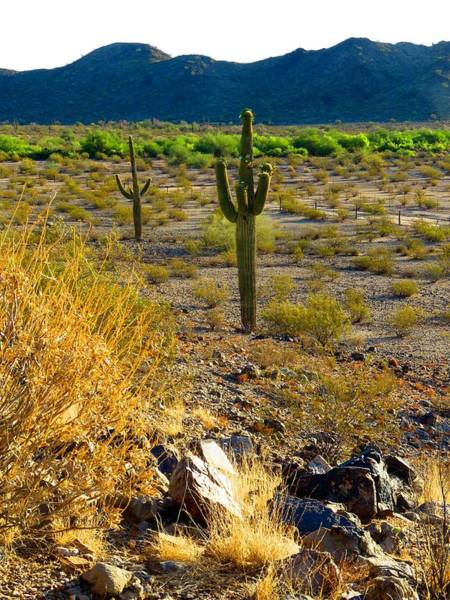Photograph - Saguaros Blooming by Judy Kennedy