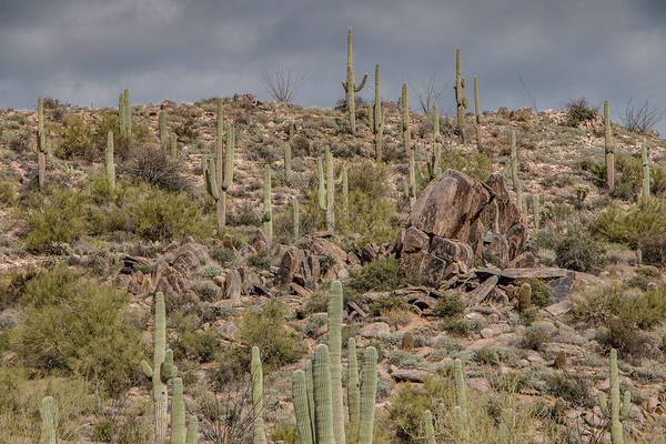 Photograph - Saguaros On The Hill by Teresa Wilson
