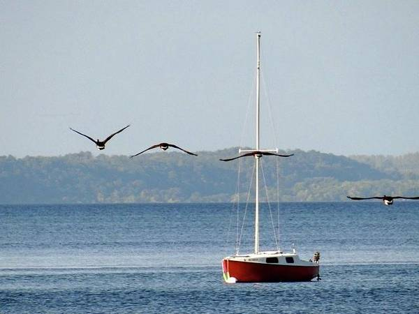 Photograph - Sailing Geese by Jenny Regan