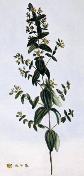 Marijuana Drawing - Saint John's Wort by Pierre-Joseph Buchoz