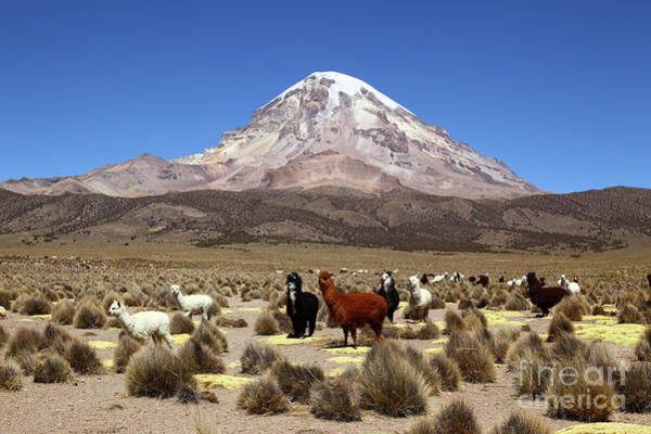 Photograph - Sajama Volcano And Alpacas Bolivia by James Brunker