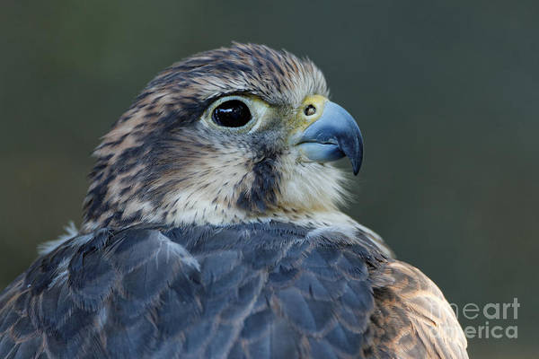 Photograph - Saker Falcon At Rest by Sue Harper