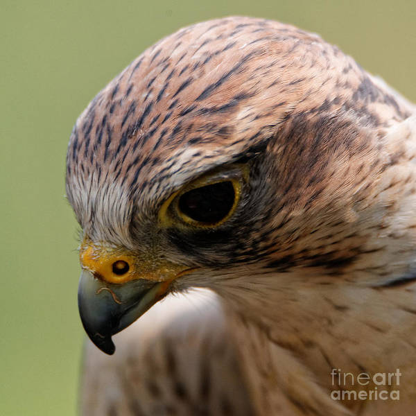 Photograph - Saker Falcon - Blushing by Sue Harper