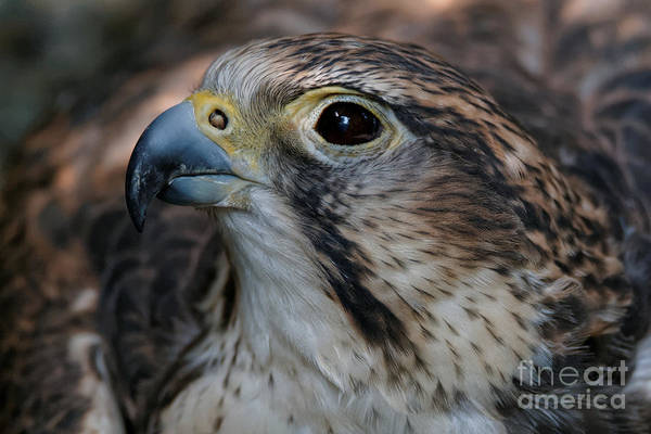 Photograph - Saker Falcon Portrait by Sue Harper