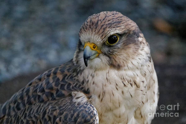 Photograph - Saker Falcon - Pose by Sue Harper