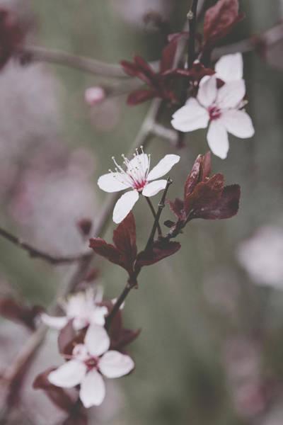 Photograph - Sakura #098 by Desmond Manny