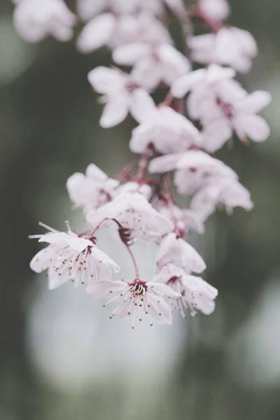 Photograph - Sakura #253 by Desmond Manny