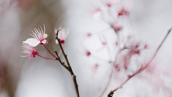Photograph - Sakura #290 by Desmond Manny