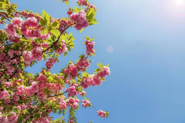 Photograph - Sakura Blossom Tree by Alexandre Rotenberg