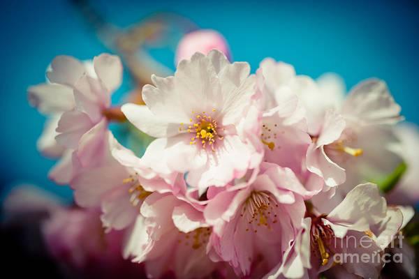 Photograph - Sakura Blossoms Closeup Pink Cherry Artmif.lv by Raimond Klavins