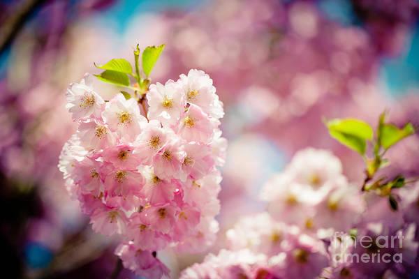 Photograph - Sakura Blossoms Pink Cherry  by Raimond Klavins