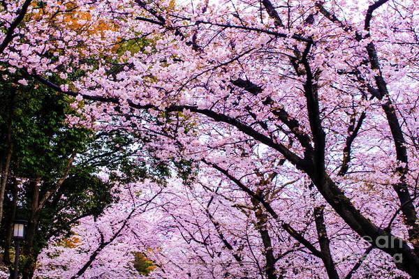 Photograph - Sakura by Helge