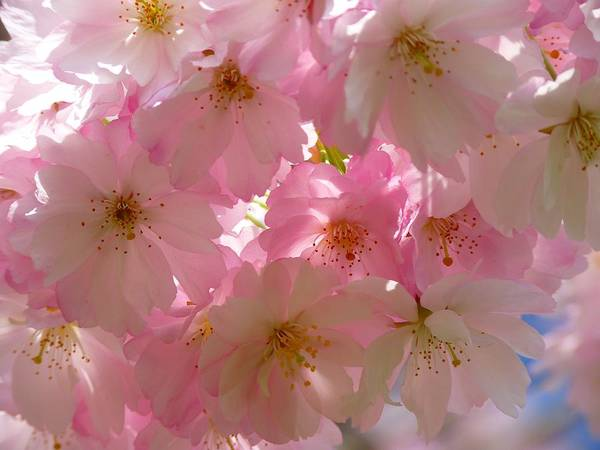 Photograph - Sakura - Japanese Cherry Blossom by Botanical Collection