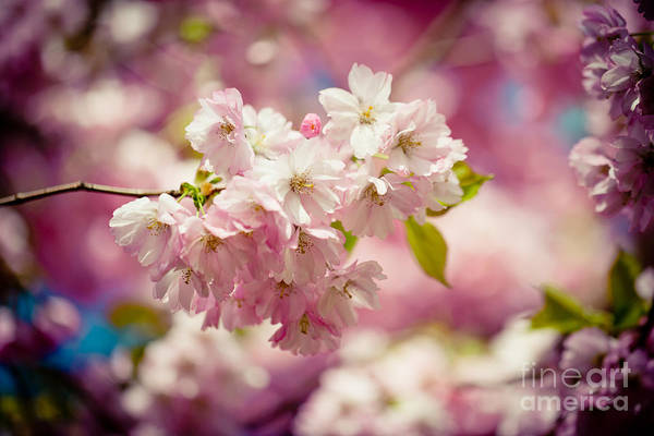 Photograph - Sakura Pink Cherry Blossoms  by Raimond Klavins