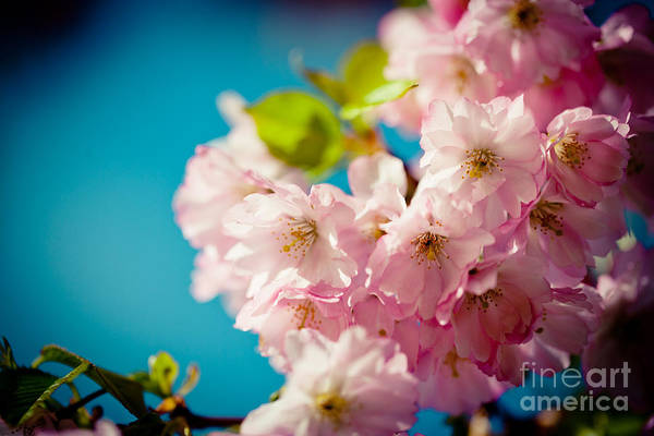 Photograph - Sakura Spring Pink Cherry Blossoms  by Raimond Klavins