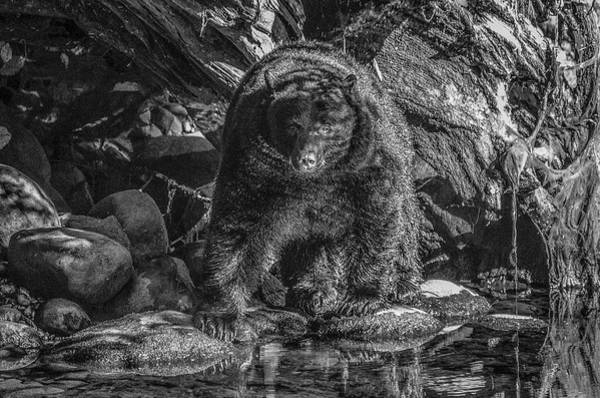 Photograph - Salmon Seeker Black Bear  by Roxy Hurtubise