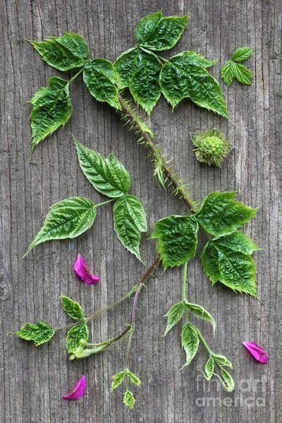 Wall Art - Photograph - Salmonberry  by Masako Metz