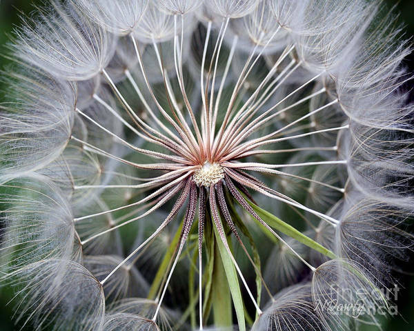 Photograph - Salsify by Natalie Dowty