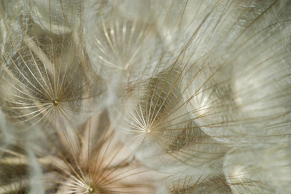 Photograph - Salsify Seed Head by Robert Potts