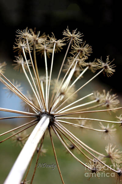 Photograph - Salsify Stems by Natalie Dowty